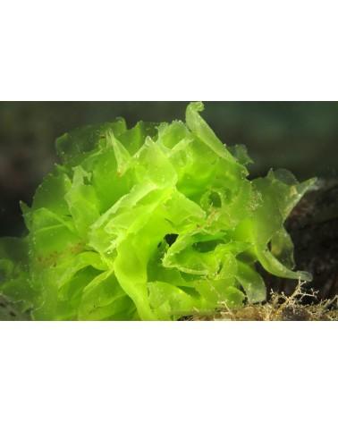 Askoll Green Seaweed